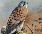 Vintage Bird Book Plate Page of Kestrel in oak tree printed 1965 Illustration