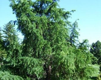500 Japanese Larch Tree Seeds, Larix leptolepsis