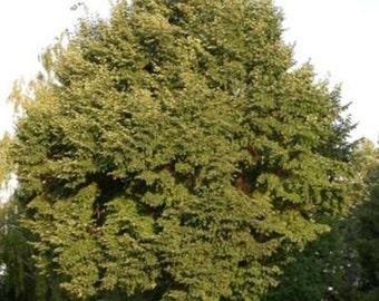 50 Littleleaf Linden Tree Seeds, Tilia cordata