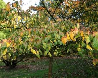 50 David Maple Tree Seeds, Acer davidii