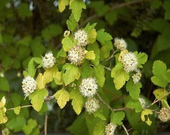 50 Eastern Ninebark Seeds, Physocarpus opulifolius