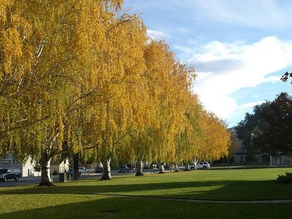 50 Yellow Birch Tree S...