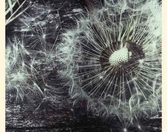 dandelion photography- black and white - nature picture- macro photography- fine art wall decor- forest woodland shoot- dandalion seed