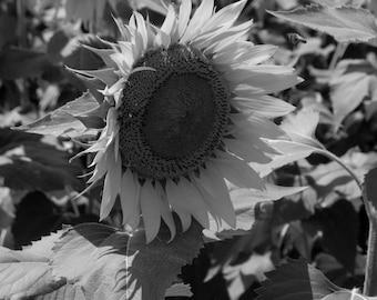 Sunflower, Black and White Photograph, Fine Art Photography, Landscape Photography, Flower Photos