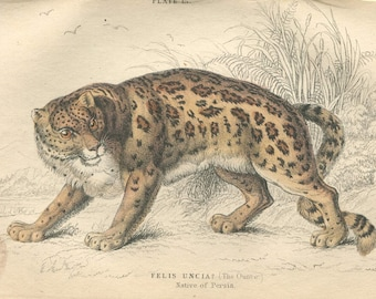 Antique Hand Colored Steel Engraved 1800's Book Plate Print Jardine Natural History Library Mammalia Lions Tigers #13 Persia Cat