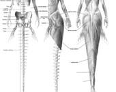 Mermaid anatomy bundle - skeleton (English) & musculature