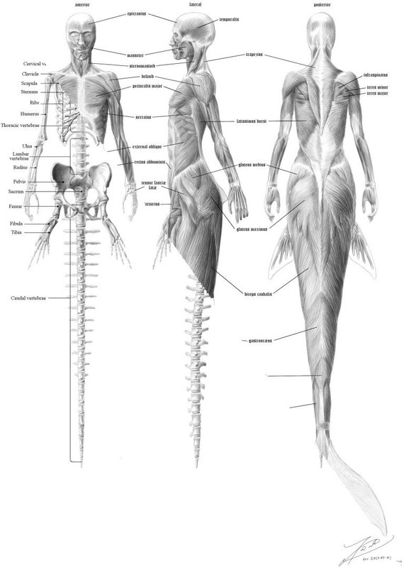 Mermaid Anatomy Skeleton English on Anatomy Female Reproductive System Diagram