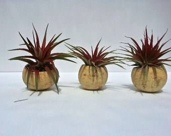 RED Air Plants in Natural Seed Pod Terrariums. Pebbles and Spanish Moss Accents for gifts or office plants