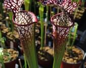 Potted CARNIVOROUS WHITE TOP Pitcher Plant (Sarracenia leucophylla)