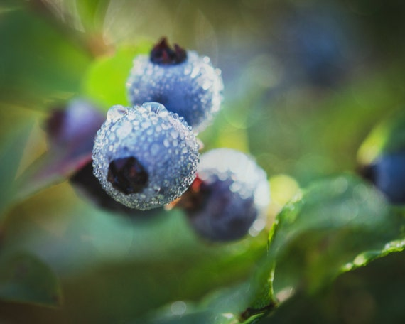Maine Wild Blueberries with Morning Dew. Nature Photography by OneFrameStories.