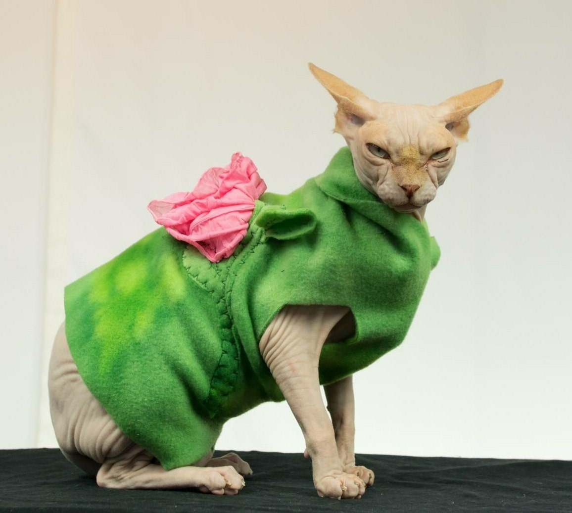 Hairless Cats Wearing Sweaters Adult sphynx cat clothes spring rose