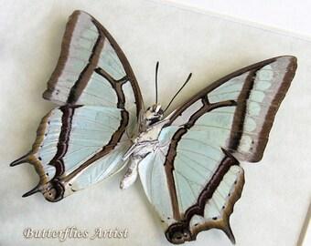Chinese Nawab Sage Green Polyura Narcaea Real Butterfly In Shadowbox