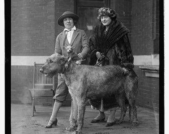 Irish Wolfhound with Chihuhahua on its back, Dog Show, 1918 - Photo Print