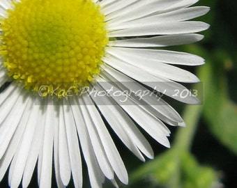 Daisy-Like Flower - Macro  -  5 x 7 Print