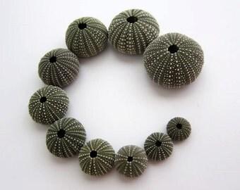 10 Sea Urchin Shell Family. Dark green urchin shells.