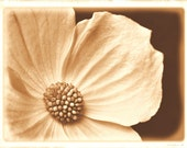 Sepia Photography - Wild Dogwood Photograph With An Antique Finish - Rustic Art Print in Brown Beige and White - Also Available on Canvas