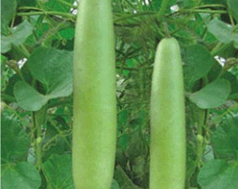 Long Bottle Gourd 30 seeds 10 seeds heirloom Thai vegetable