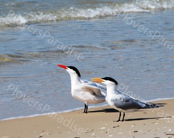 Royal Tern Photo // 5x7 Royal Tern Photograph Print // Shorebirds on Beach Photo.