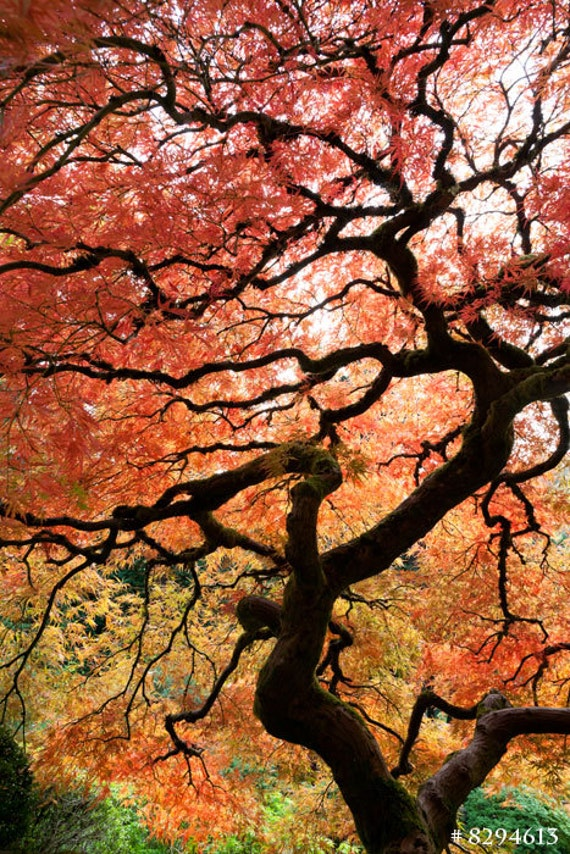 Japanese Maple In Autumn Nature Photography Home Decor Photo