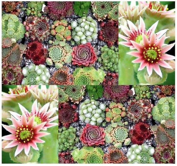 Poule et poussins cactus