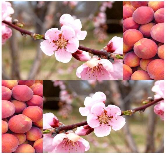 Nemaguard Peach Prunus persica nemaguard Tree Seeds