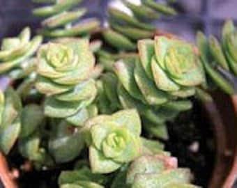 Medium Succulent Plant Crassula Conjuncta.