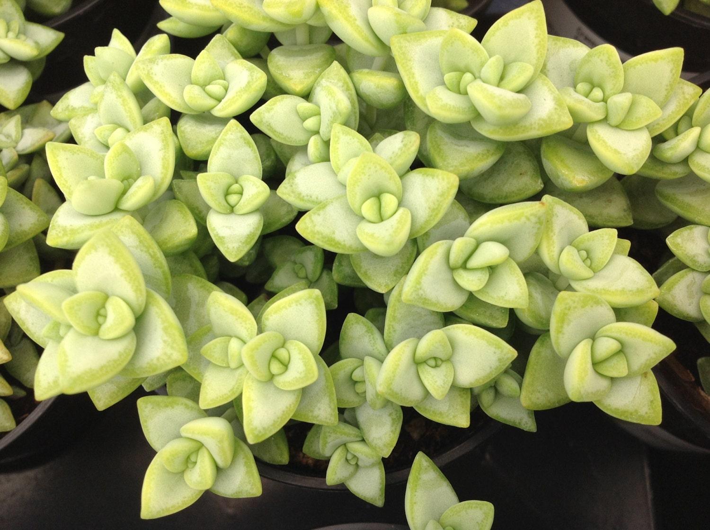 Succulent Plant Crassula Rupestries Beautiful Succulent With