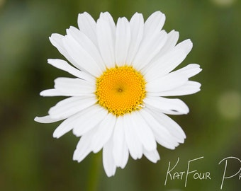 Digital Photo Download, White and Green Daisy Photo, Flower Photograph, Home Decor, Nature Photo, Floral Photograph, Spring Photo, Fine Art