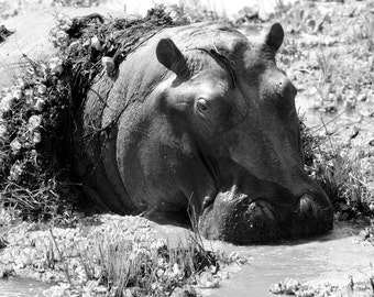 A hippo resting in a water hole. South Luangwa National Park, Zambia