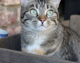 Cat in a wooden fruit box, Belgium.