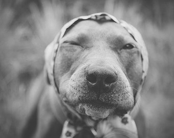 Under the Babushka - pit bull photograph print