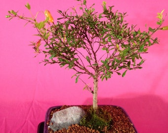 Indoor Bonsai, Dwarf Pomegranate, 10 years old,flowers and fruits.