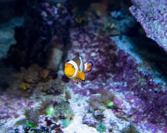 Clown Fish Nemo Exotic Aquarium Canvas Picture Wall Art Wall Decor