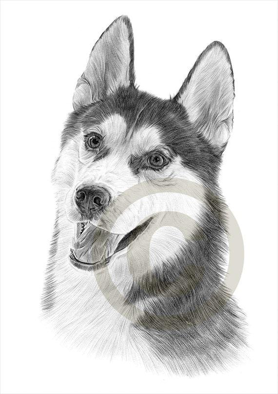 Hund Siberian Husky Bleistiftzeichnung Drucken A4 Gr 246 223 E