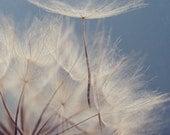 Fine Art Photograph, Dandelion Photo, Flower, Dreamy, Soft, Gentle, Wishes, Cool Tones, White, Blue, Home Decor, Whimsical Art, 4x6 Print