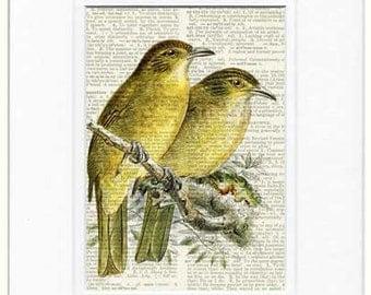 birds, 1800's Bulbul Songbird print