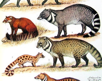 Animal Print  - Civets - 1973 Vintage Encyclopedia Print Book Page