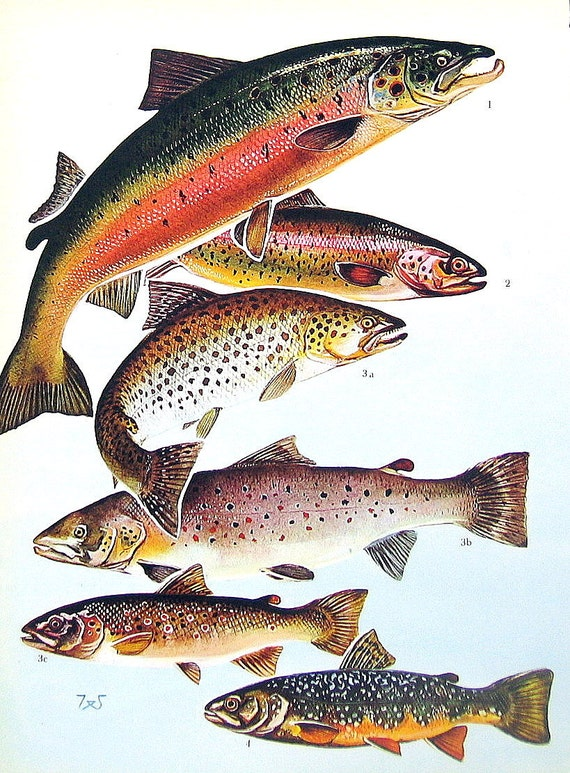 Fish print atlantic salmon rainbow trout brown trout lake for How to fish for lake trout