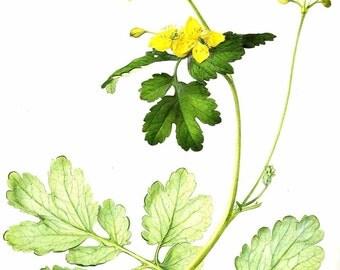 Vintage Flower Print - Botanical Print - Celandine Plant - Yellow Flower - The Language of Flowers - Flower Wall Art - Marilena Pistoia