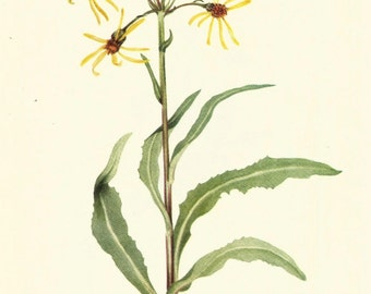 Flower Print - Mourning Ragwort - Vintage Wild Flower Print - Botanical Print - Wild Flower of America - Lake Louise Arnica - Mary V Walcott
