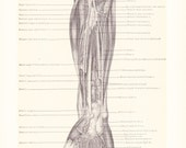1899 Human Anatomy Print - Arteries and Nerves of Forearm - Vintage Antique Medical Anatomy Art Illustration for Doctor Hospital Office