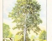 1926 Botany Print - White Birch Tree - Vintage Antique Book Art Illustration Nature Natural Science Great for Framing