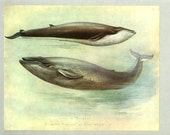 Sibbald's Rorqual, Blue Whale, Vintage Print, Thorburn Painting 1919, Plate 43, Natural History, Woodland, Frameable Art