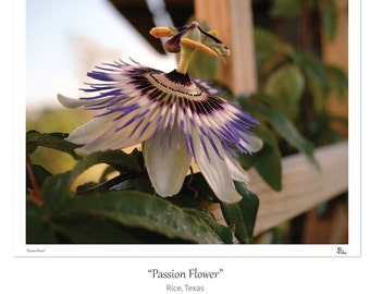 flower photography, passion flower photo, botanical art print nature home decor