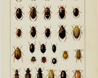 1869 Antique BEETLE engraving, different species of BEETLES. Insects. Entomology. 120 years old nice print.