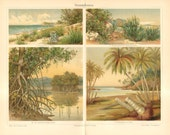 1904 Beach Plants, Shrubbery, Indo-Malay Mangrove, Coco Palms Original Antique Chromolithograph