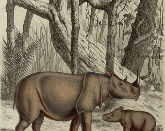 1855 Antique print of a RHINOCEROS. RHINOCEROSES. RHINO. African fauna. Natural History. Zoology. 162 years old gorgeous engraving