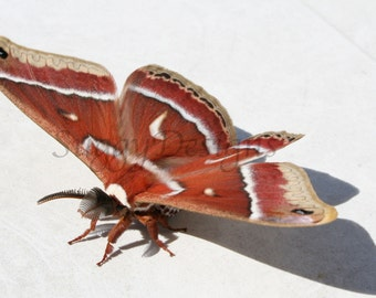 "Silk Moth Scientific with Latin print 8"" x 10"" Photographic Print"