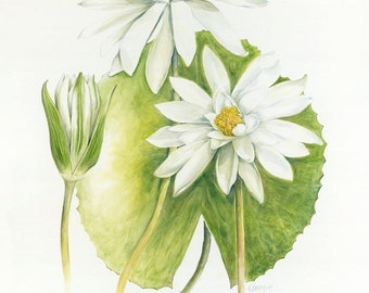 White Water Lily Botanical Print, from original botanical illustration by Australian artist Julie McEnerny