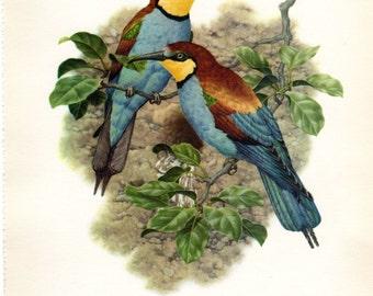 Vintage Bird Print Bee Eater Axel Amuchastegui 1959 Antique Bird Print Ornithology